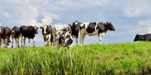 Haltung von Kuh & Rind