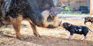 Haltung von Schweinen